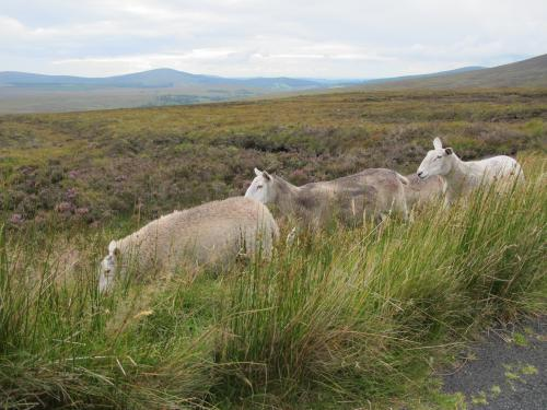 The Sheeps are on the Wicklow Mountains